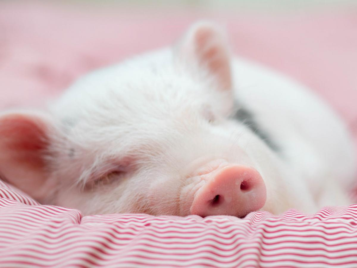 Een varken als huisdier, een goed idee of niet?