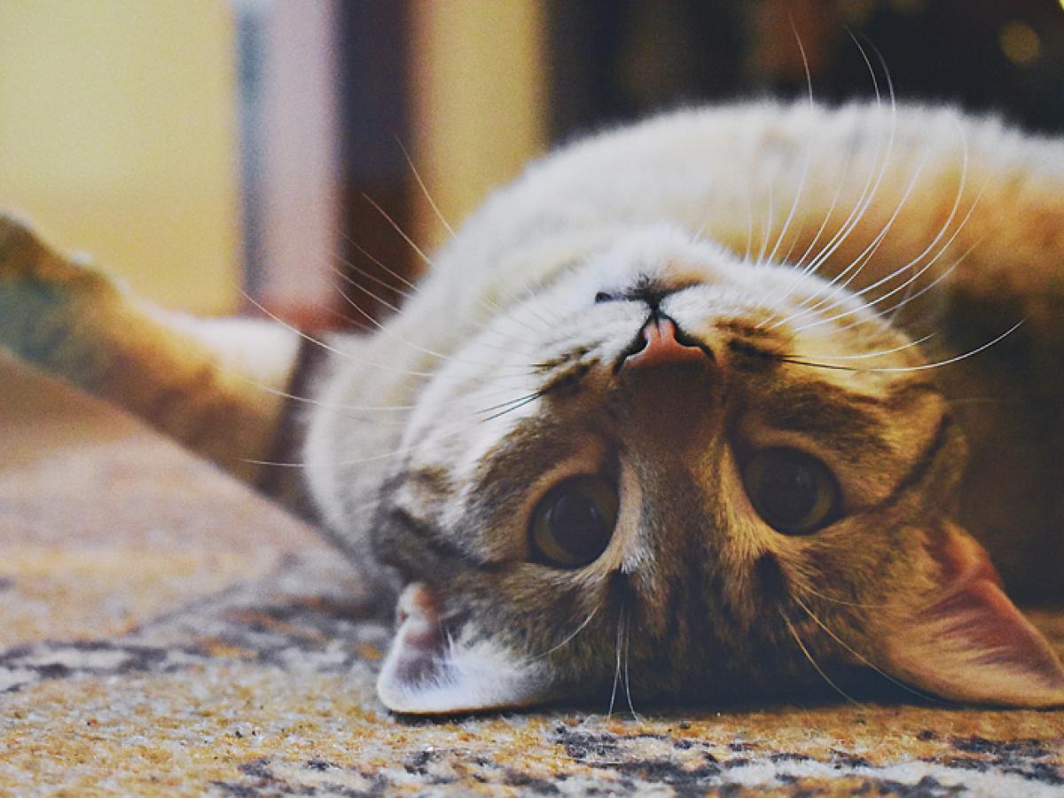 Het is paartijd voor de katten. Denk eraan om je kat te steriliseren/castreren!