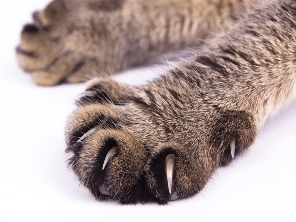 Kattenpootjes zijn schattig, tot de klauwen tevoorschijn komen!